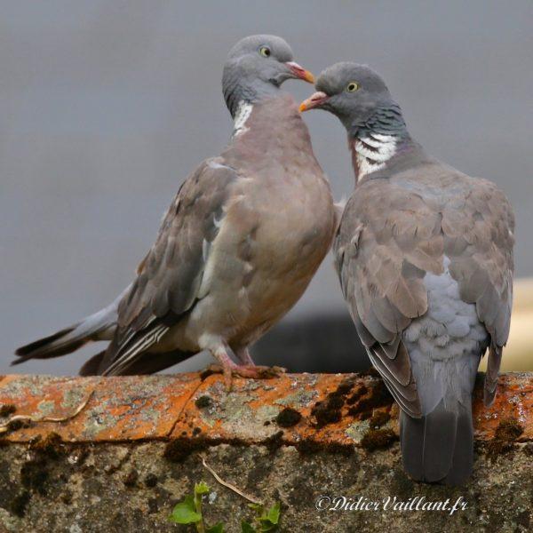 05    Couple de pigeons ramiers    30×30