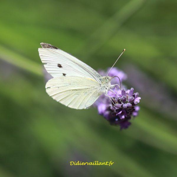 84 Papillon blanc lavande  20×20