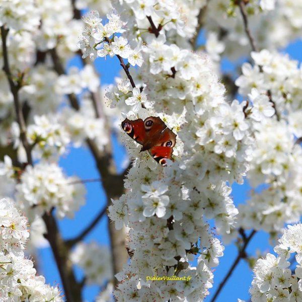 72 Papillon noyé aussi dans les fleurs de prunier  30X30